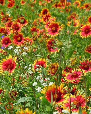 Art Print featuring the photograph Wild Red Daisies #2 by Robert ONeil