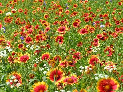 Art Print featuring the photograph Wild Red Daisies #3 by Robert ONeil