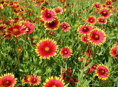 Art Print featuring the photograph Wild Red Daisies #4 by Robert ONeil