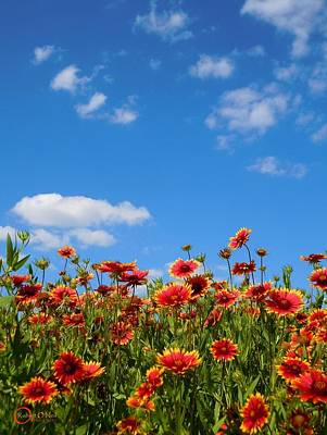Art Print featuring the photograph Wild Red Daisies #6 by Robert ONeil