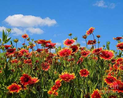 Art Print featuring the photograph Wild Red Daisies #7 by Robert ONeil
