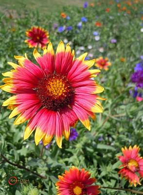 Art Print featuring the photograph Wild Red Daisy #1 by Robert ONeil