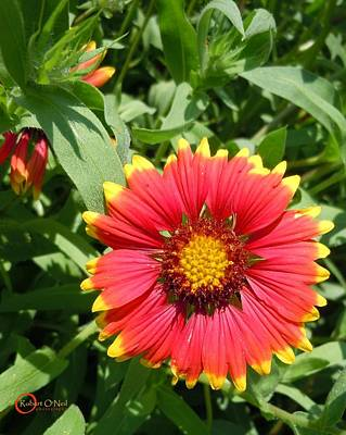 Art Print featuring the photograph Wild Red Daisy #2 by Robert ONeil
