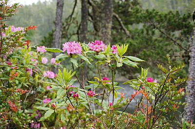 Photograph - Wild Rhododendron by Angi Parks