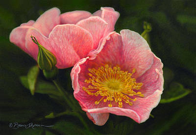 Wildflowers Drawing - Wild Rose by Bruce Morrison