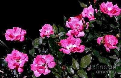 Roses Bushes Digital Art - Wild Rose Bush by Marsha Heiken