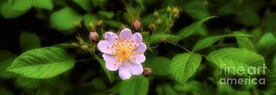 Photograph - Wildflower - Wild Rose - Panorama by Henry Kowalski