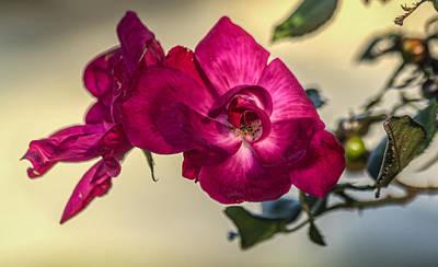 Wild Rose Art Print by Jane Luxton