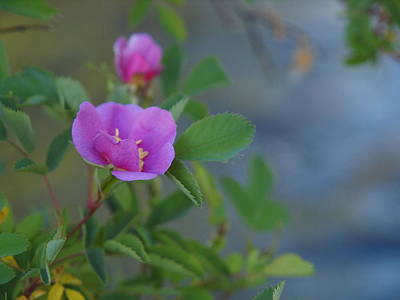 Photograph - Wild Rose by Jenessa Rahn