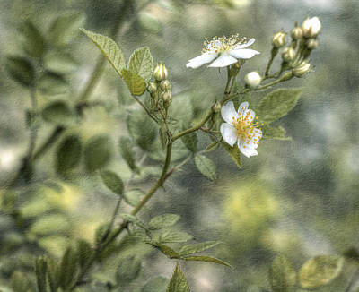 Photograph - Wild Rose by Kathleen Holley