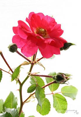 Photograph - Wild Rose by Mariarosa Rockefeller