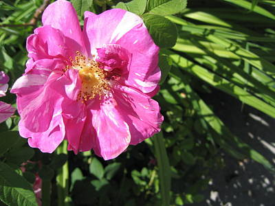 Art Print featuring the photograph Wild Rose by Mary Bedy