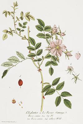 Wild Rose Painting - Wild Rose by Nicolas Francois Regnault