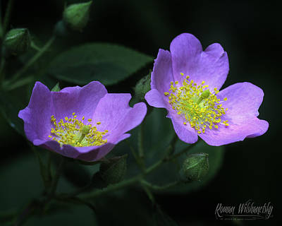 Photograph - Wild Rose by Roman Wilshanetsky