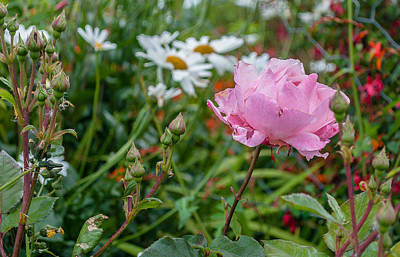 Art Print featuring the photograph Wild Rose by Sergey Simanovsky