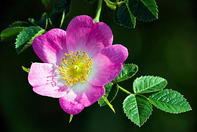 Photograph - Wild Rose by Tomasz Dziubinski