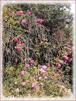 Photograph - Wild Roses by Geoff Cooper