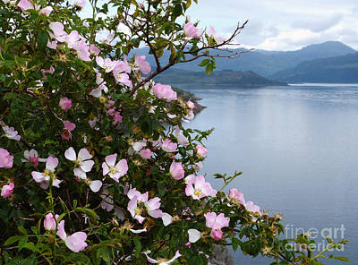 Photograph - Wild Roses - West Highlands by Phil Banks