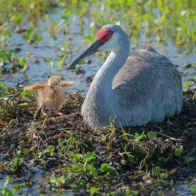 Animal Behavior Photograph - Wild Sandhill Crane Feeding First Colt by Maresa Pryor