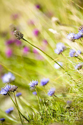 Photograph - Wild Sheepsbit Scabious by Jan Bickerton