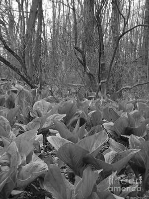 Swamp Cabbage Photograph - Wild Skunk Cabbage Bw by Sara  Raber