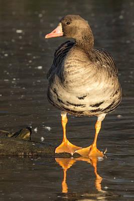 Photograph - Wild Specklebelly Goose by Kathleen Bishop