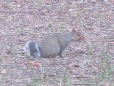 Photograph - Wild Squirrel by Debbie Nester
