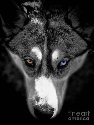 Photograph - Wild Stare by Karen Lewis