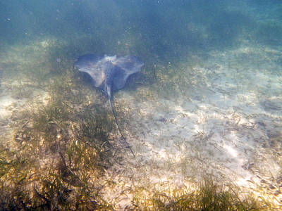 Art Print featuring the photograph Wild Sting Ray by Eti Reid