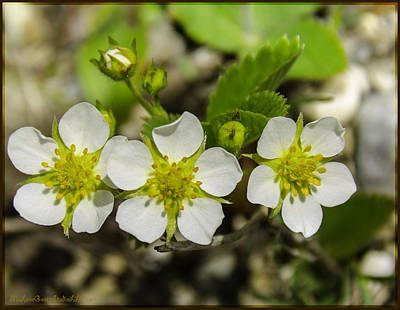 Photograph - Wild Strawberries In Spring by LeeAnn McLaneGoetz McLaneGoetzStudioLLCcom