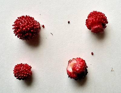 Wild Strawberries Art Print by Mark Victors