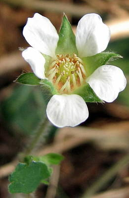 Photograph - Wild  Strawberry Blossom.fragaria Vesca.  by Joseph Doyle