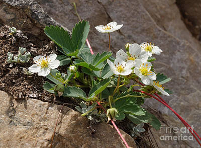 Photograph - Wild Strawberry by Charles Kozierok