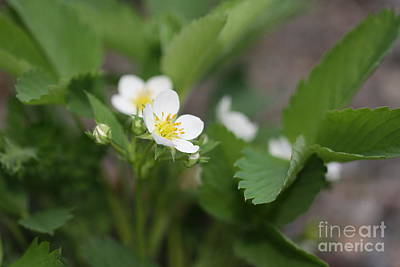 Wild Strawberry Flower Art Print