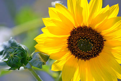 Art Print featuring the photograph Wild Sunflower by Nadalyn Larsen