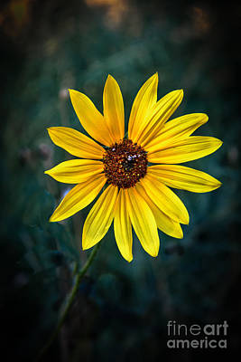 Photograph - Wild Sunflower by Robert Bales
