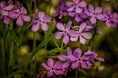 Photograph - Wild Sweet William by Wayne Meyer
