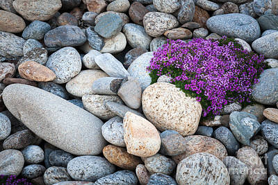Photograph - Wild Thyme Growing Amonst Beach Pebbles. by Peter Noyce
