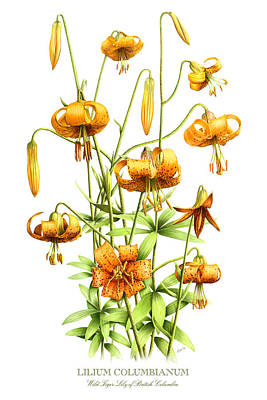 Vintage Style Painting - Wild Tiger Lilies by Artellus Artworks