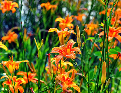 Lilies Digital Art - Wild Tiger Lilies by Chris Flees