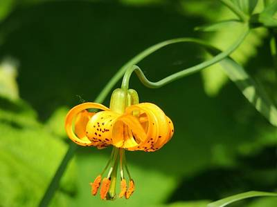 Wild Tiger Lily Photograph - Wild Tiger Lily by Cathy MacMillan