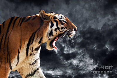 Out Photograph - Wild Tiger Roaring. Isolated On Dramatic Background by Michal Bednarek