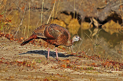 Eastern Wild Turkey Photograph - Wild Turkey by Al Powell Photography USA