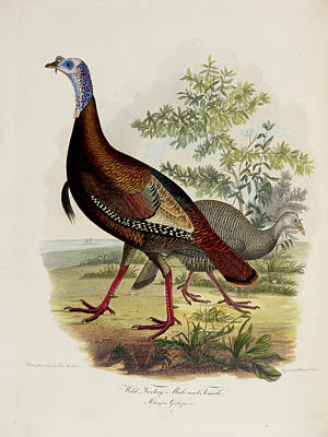 Wild Turkey Art Print by British Library