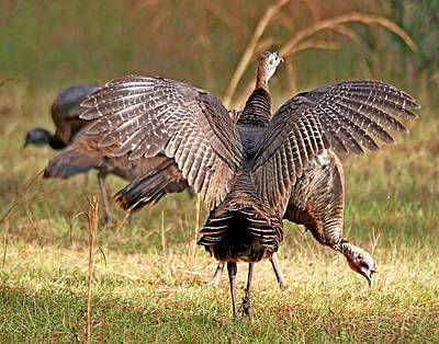 Photograph - Wild Turkey by Ira Runyan