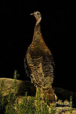 Wild Turkey Meleagris Gallopavo Print by Ron Sanford
