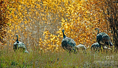 Wild Turkeys And Fall Colors Art Print by Robert Bales