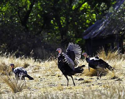 Wild Turkeys And Old Barn Original