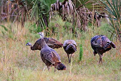 Photograph - Wild Turkeys by Ira Runyan