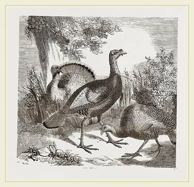 Wild Turkey Drawing - Wild Turkeys by Litz Collection